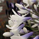 Agapanthus praecox subsp. orientalis 'Queen Mum'