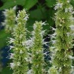 Agastache foeniculum 'Alba'