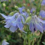 Aquilegia vulgaris 'Very Pale Blue'