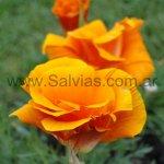 Eschscholzia californica 'Doble anaranjada'