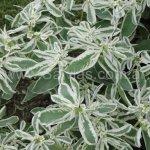 Euphorbia marginata 'Enana'
