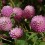 Gomphrena globosa 'Rose Beauty'