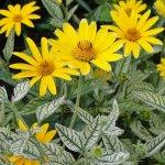 Heliopsis helianthoides 'Sunburst'