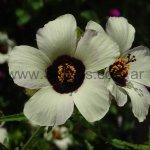 Hibiscus trionum