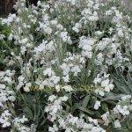 Matthiola fruticulosa subsp. perennis 'Alba'