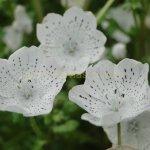 Nemophila menziesii var. atomaria
