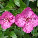 Oenothera kunthiana