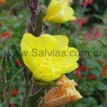Oenothera odorata 'Sulphurea'