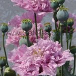 Papaver somniferum 'Doble Lila'