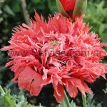Papaver somniferum 'Double Ragged Red'