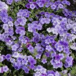 Phlox drummondii 'Moody Blues'