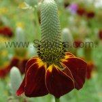 Ratibida columnifera 'Red Midget'