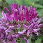 Tarenaya hassleriana 'Violet Queen'