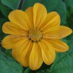 Tithonia rotundifolia 'Yellow Torch'