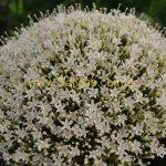 Trachelium caeruleum 'Alba'