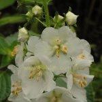 Verbascum phoenicium 'Flush of White'