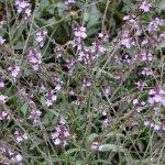 Verbena officinalis 'Bampton'