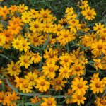 Zinnia angustifolia 'Starbright Orange'