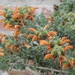 Salvia africana-lutea 'Kirstenbosch'