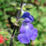 Salvia amarissima