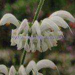 Salvia argentea 'Green Leaves'