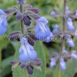 Salvia durifolia 'de flores celestes'