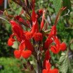 Salvia exserta