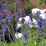 Salvia farinacea 'Henry Duelberg'