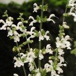 Salvia forsskaolii 'Alba'