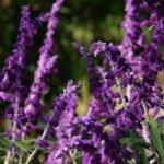 Salvia leucantha 'Purple Velvet'