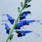 Salvia macrophylla 'Tingo Blue'