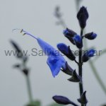 Salvia macrophylla 'de hojas purpúreas'