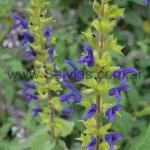 Salvia mexicana var. minor