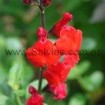 Salvia microphylla 'Royal Bumble'