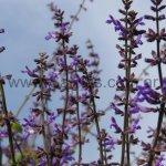 Salvia myriantha
