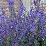 Salvia pratensis 'Indigo'