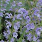 Salvia pratensis 'Sky Dance'