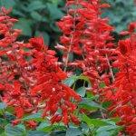 Salvia splendens 'Yvonne'