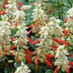 Salvia splendens 'Sangría'