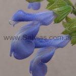 Salvia stachydifolia 'Grandiflora'