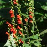 Salvia subrotunda