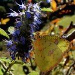 image densiflora2-jpg