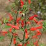 Salvia dichlamys