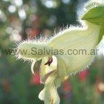 Salvia digitaloides