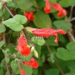 Salvia disjuncta