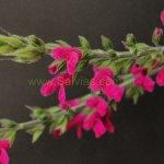 Salvia eizi matudae