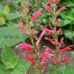 S. elegans 'Sonoran Red'