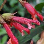 Salvia 'Ember ´s Wish'