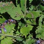 Salvia forsskaolii