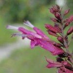 Salvia florida 'Red Cauli'